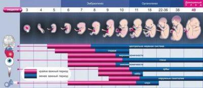 Сколько длится беременность в эмбриональных неделях