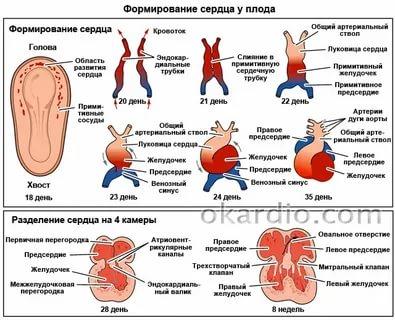 На каком сроке беременности у плода формируется сердце