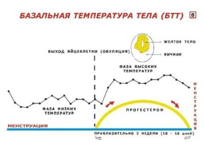Какая температура должна быть во время овуляции