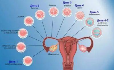 Какие признаки после оплодотворения яйцеклетки