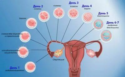 Сколько яйцеклеток в организме женщины