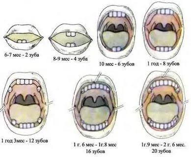 Сколько зубов должно быть у ребенка в 2 5 года