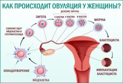 Как выходит яйцеклетка из организма