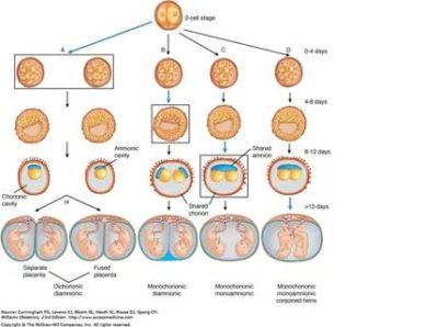 Как возникает многоплодная беременность